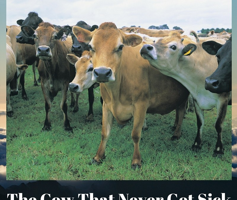 The Cow That Never Got Sick